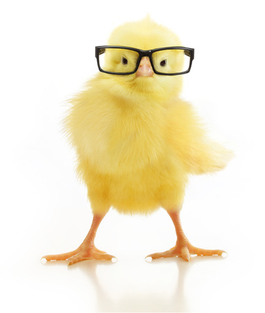 Cute little chicken in black eye glasses isolated on white background