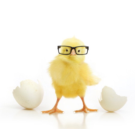 Cute little chicken in black eye glasses coming out of a white egg isolated on white background Stockfoto
