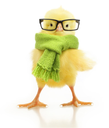 lindo: Chicken Little cute aisladas sobre fondo blanco
