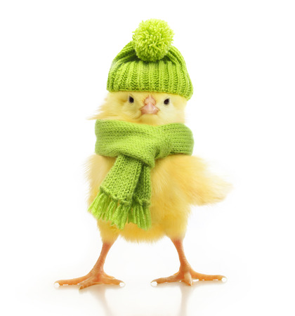 Cute little chicken in green knitted hat and scarf isolated on white background