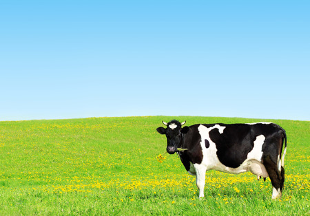 Cow grazing on a green meadow. photo