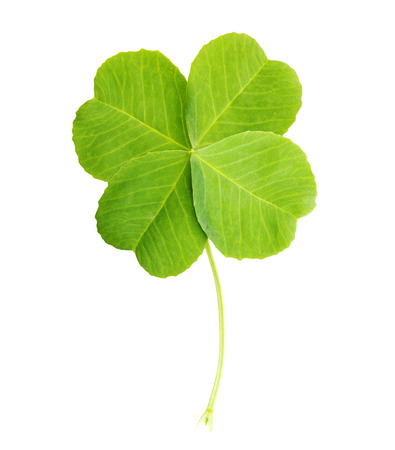 lucky clover: Green four-leaf clover leaf isolated on white background. Stock Photo