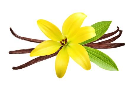 flor de vainilla: Vainas de vainilla y flores aisladas sobre fondo blanco