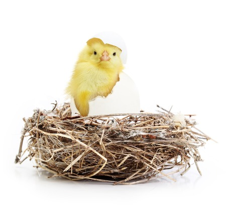 coming out: Cute little chicken coming out of a white egg in nest isolated on white background