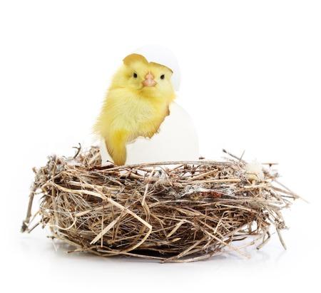 nido de pajaros: Cute poco de pollo que sale de un huevo en el nido aislado en fondo blanco