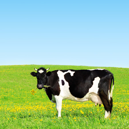 grazing land: Cow grazing on a green meadow.