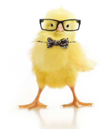 Cute little chicken in black eye glasses and bow isolated on white background