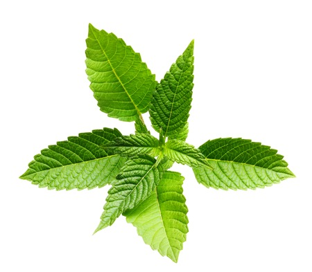 spearmint: Green mint leaves isolated on a white background. Stock Photo