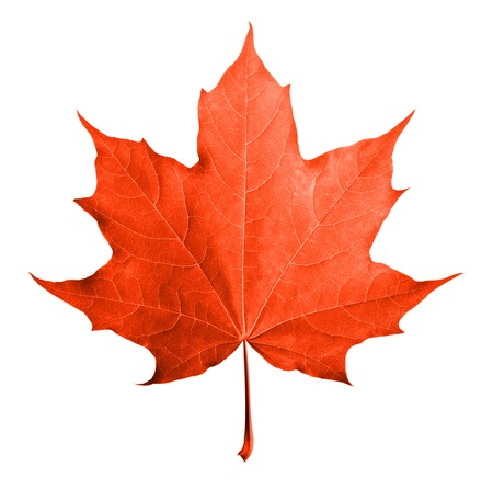 Red maple leaf isolated white background. Standard-Bild