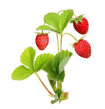 strawberry plant: Wild strawberry isolated on white background.