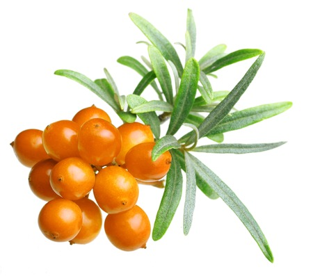 argousier: Sea buckthorn isolated on the white background
