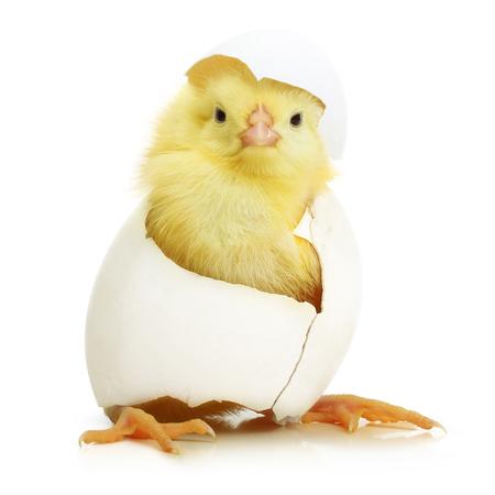 Cute little pollo che esce da un uovo bianco isolato su sfondo bianco