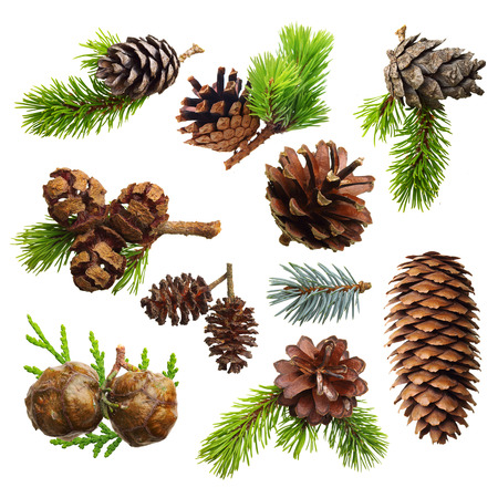 Set of fir evergreen tree branches and cones isolated on white. Christmas decoration.