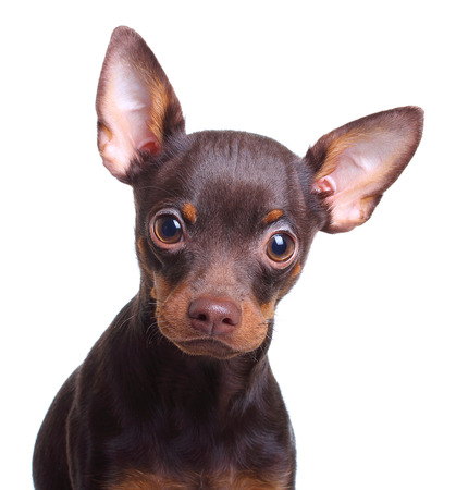 toyterrier: Young toy terrier dog isolated on a white background. Stock Photo