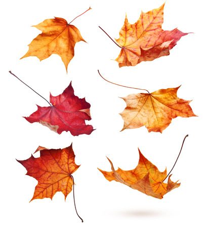 fall leaf: Autumn maple leaves isolated on white background