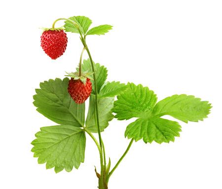 Wild strawberry macro isolated on white Standard-Bild