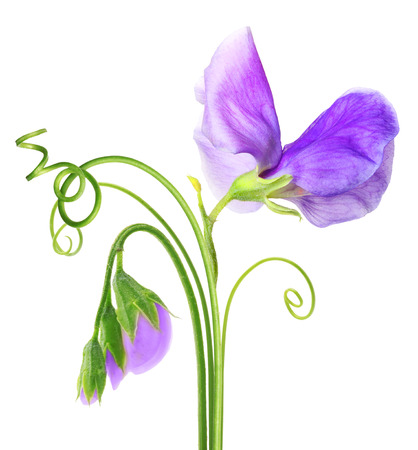 sweet pea: Sweet pea flower isolated on white background