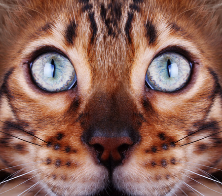 Bengal cat looking to the top, cat head close up.
