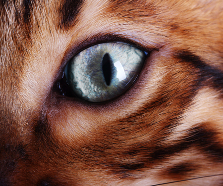 bengal: Bengal cat eye close up.