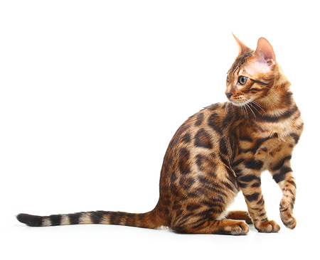 Cat isolated on white background. Bengal kitten Stock Photo