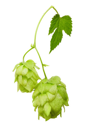 bitterness: Hop with leaf isolated on white background