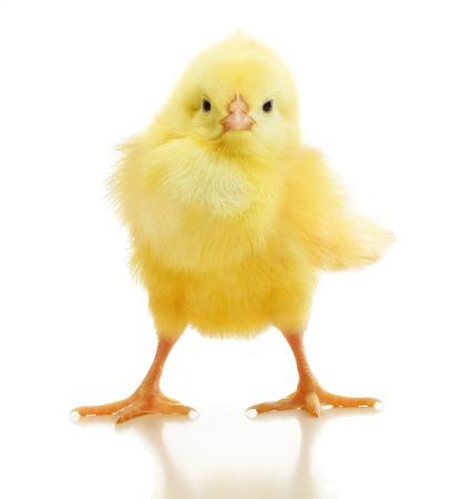 Śliczny mały kurczak na białym tle Zdjęcie Seryjne