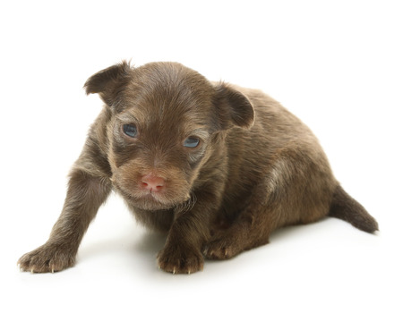 toyterrier: Toy terrier puppy, two weeks old isolated on a white background.
