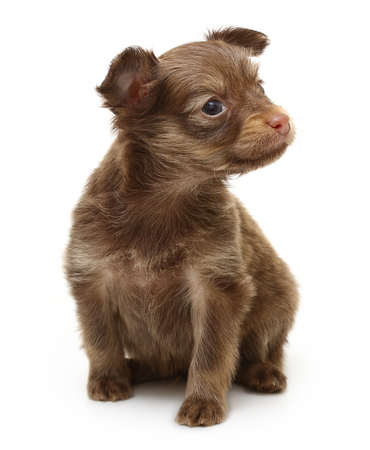 toyterrier: Toy terrier puppy isolated on a white background. Stock Photo