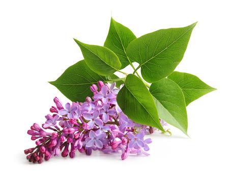 Twigs: Spring flower twig purple lilac. Syringa vulgaris.