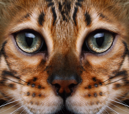 head close up: Bengal cat looking to the top, cat head close up.