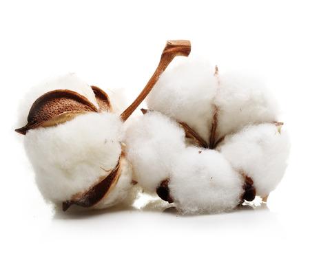 flores secas: flor de la planta de algodón aislado en el fondo blanco