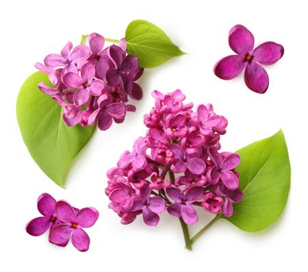 spring leaf: Spring flower, twig purple lilac with leaf. Syringa vulgaris. Stock Photo