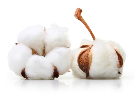 白い背景に分離された綿植物花 写真素材