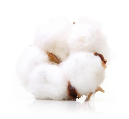 Baumwollpflanze Blume auf weißem Hintergrund Standard-Bild