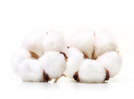 fiore pianta di cotone isolato su sfondo bianco