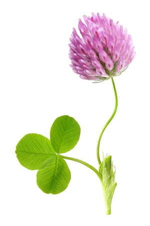 button grass: Green clover leaf and flower isolated on white background. Stock Photo