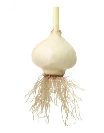 bombillas: Bulbo del tulipán con la raíz aislada en el fondo blanco.