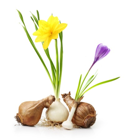 crocus: Narcissus and crocus from bulb with root isolated on white background. Stock Photo