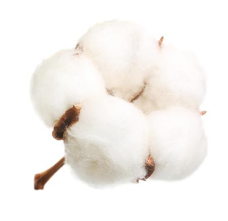 分離した綿植物花 写真素材