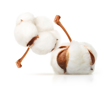 Cotton plant flower isolated