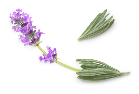 lavendin: Flower violet lavender herb isolated