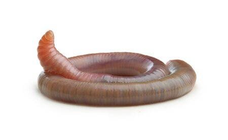 Earth worm isolated on white