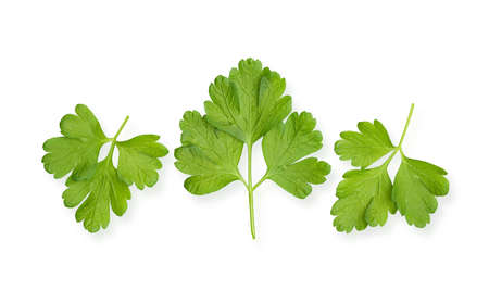 Parsley herb isolated on white background. 版權商用圖片