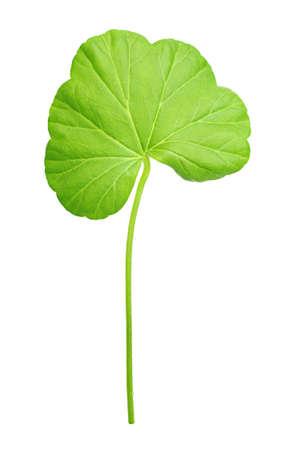 Closeup of geranium leaf isolated
