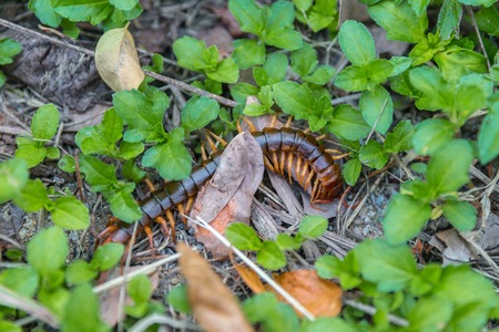 Scolopendra cinculata Mediterranean banded centipede