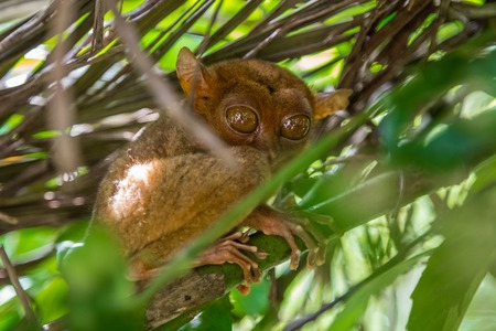 Tarsier in a tree at Bohol Tarsier sanctuary, Philippines 版權商用圖片 - 120192649