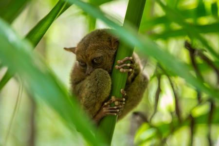 Nocturnal animal tarsier, with big round eyes, on a tree branch at day time