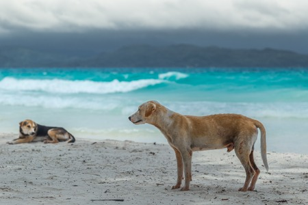 Two dogs on the beach with white sand and turquoise azure sea in Boracay, Philippines 版權商用圖片 - 119755861