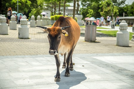 A Cow In Ngong Ping Village on Lantau island, Hong Kong, Chine.