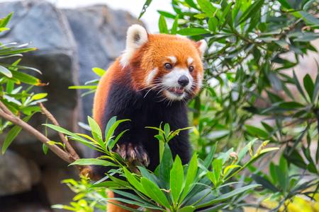 Rare specimen Red panda bear climbing tree